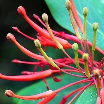 Embothrium Coccineum: the Chilean flame tree. OPW.
